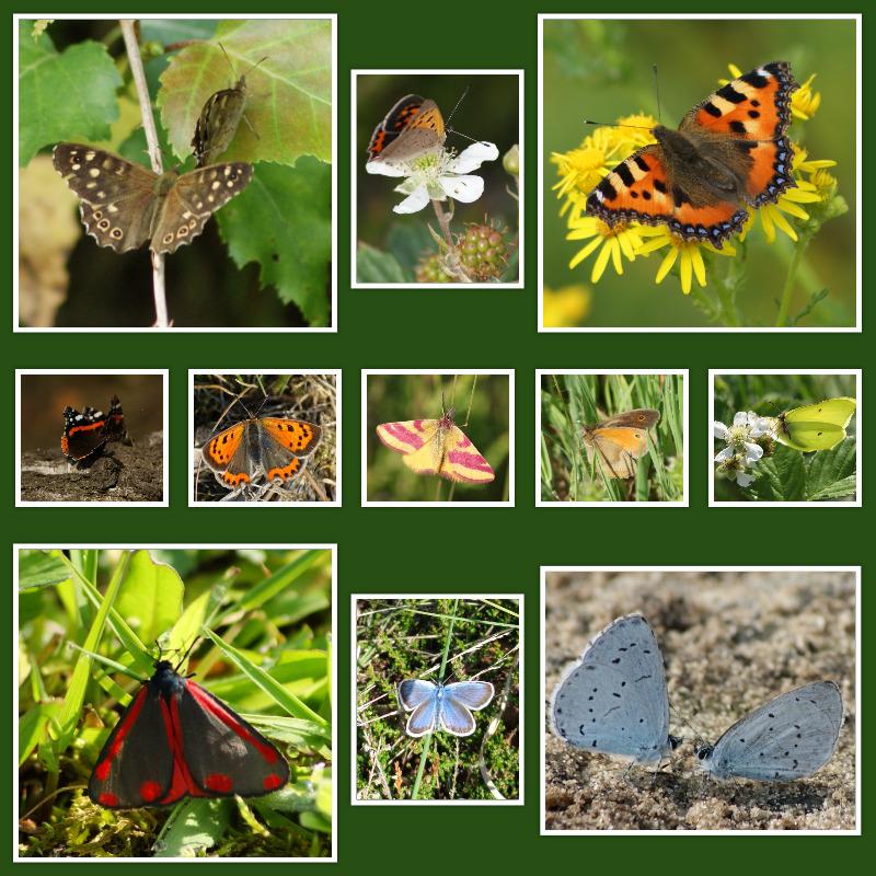 vlinders-in-de-maasduinen